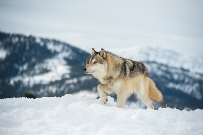 Grey Wolf walking through snowy mountains