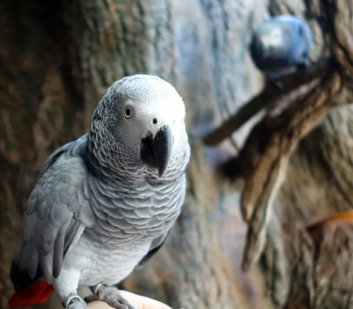 African grey parrot, named Lizzy, at Loro Parque in Tenerife, Spain.