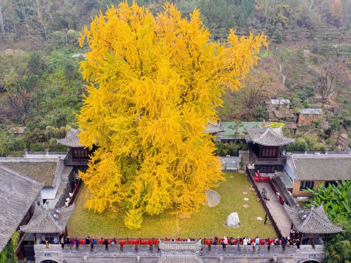 A 1,400-year-old ginkgo tree in China.