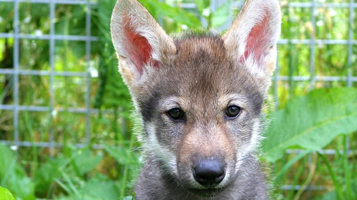 Wolf puppy named Flea, who comes from a non-fetching litter born in 2015.