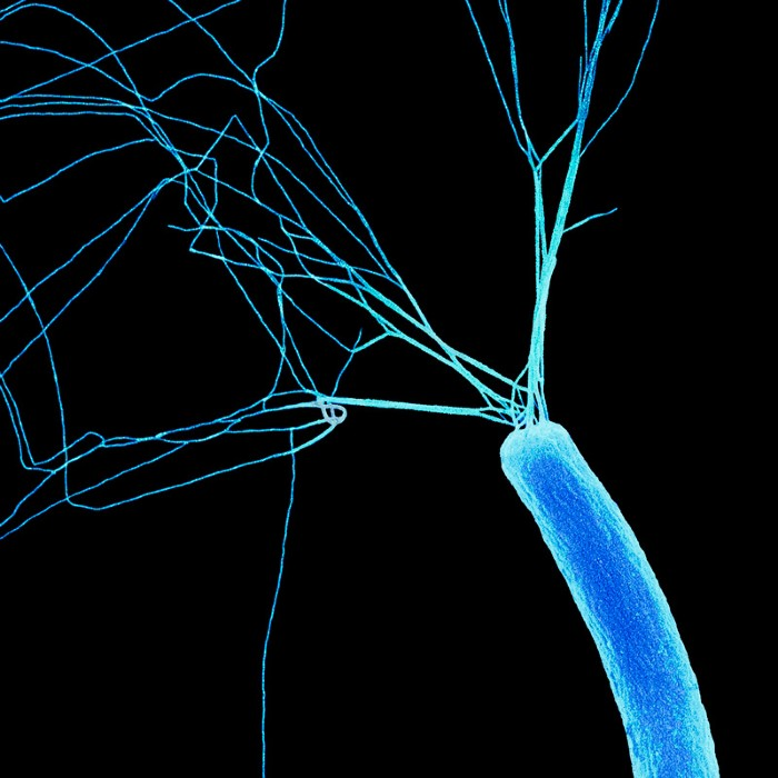 E.coli bacterium, SEM.
