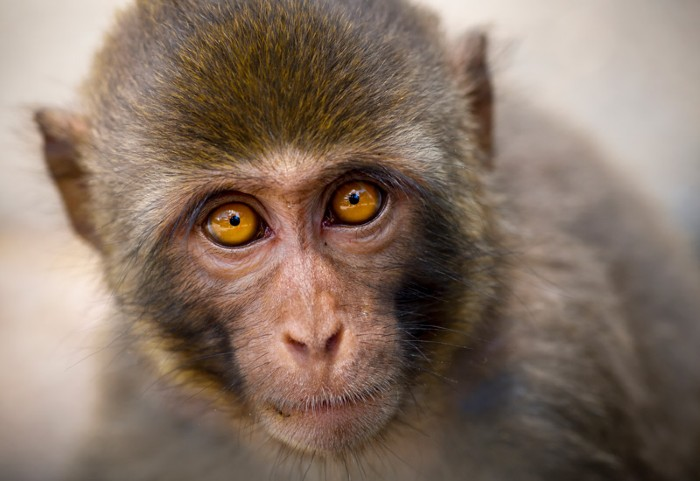 Rhesus macaque, China.