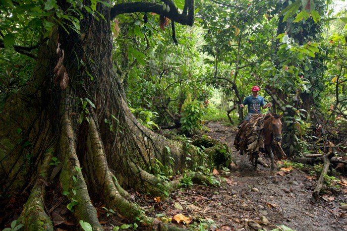 A man rides a horse through rainforest in the Talamanca mountains