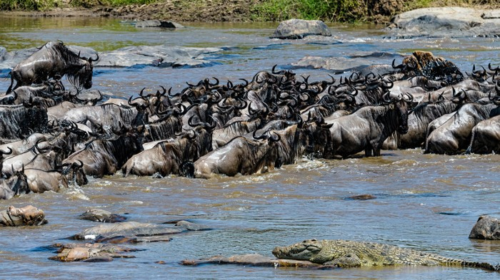 Crowd of wildebeest up to their shoulders in water with crocodile in foreground.