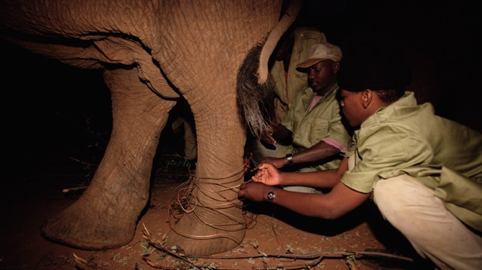 An African elephant has a wire snare removed fromits leg by keepers.