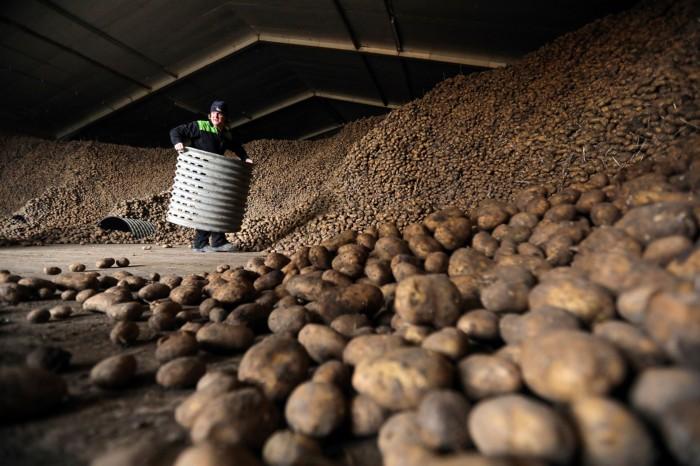 A farmer standing among a huge piles of potatoes