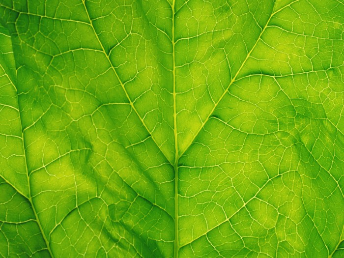 Spinach leaf, detail.