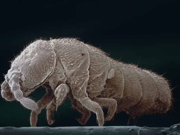 AColoured scanning electron micrograph of a six-legged creature with antennae and a long body.