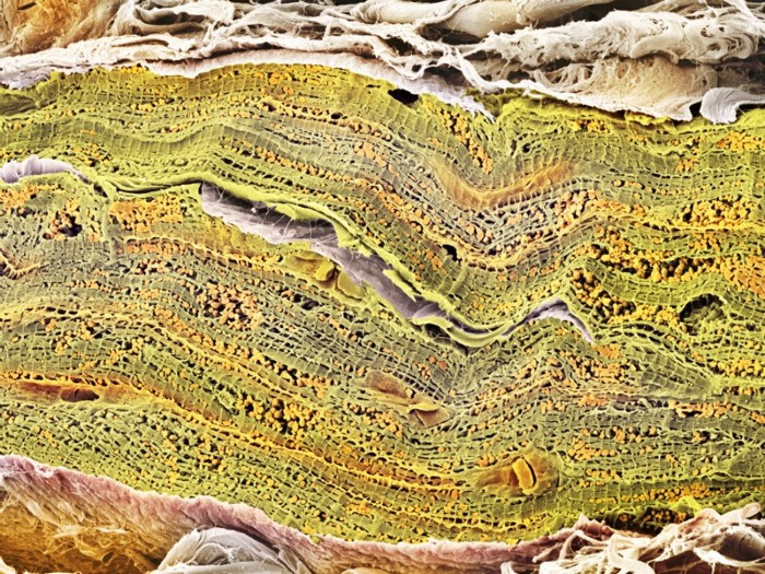 Cardiac muscle. Coloured scanning electron micrograph (SEM) of a bundle of cardiac muscle fibrils (green) from a healthy heart.