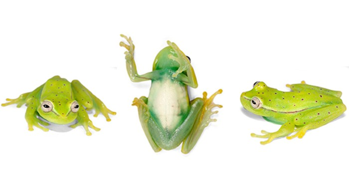 Boana punctata frog. Side, front and bottom view.