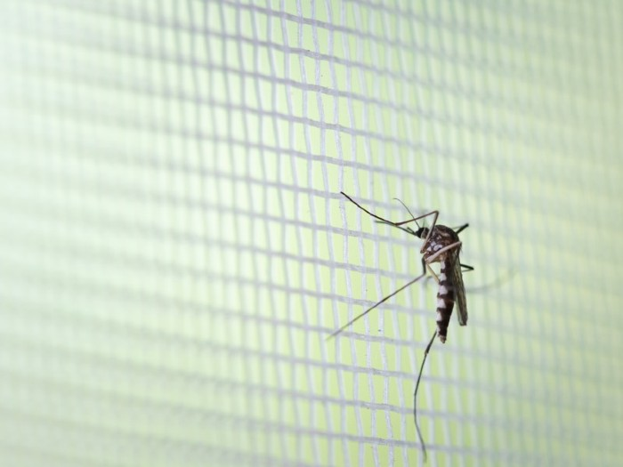Aedes aegypti Mosquito on white mosquito wire mesh.