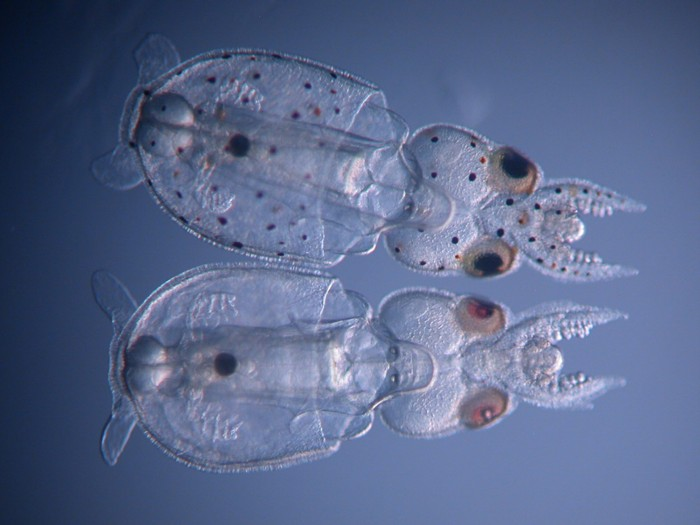 Two jelly-like creatures with big eyes, one transparent, the other with small dark spots all over it.