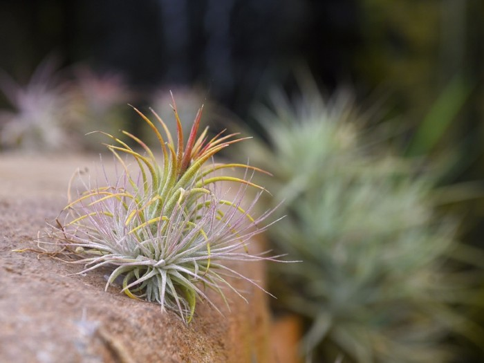 Small tillandsia plants grown on rocks on display and for sale at Rainforest Flora nursery in Torrance, California.