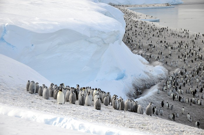 Emperor penguins (Aptenodytes forsteri) on the sea ice close of the Brunt Ice Shelf.