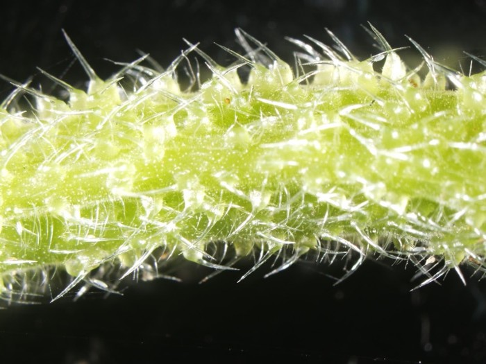 Close-up of a green plant stem covered in fine, translucent stings, on a black background.