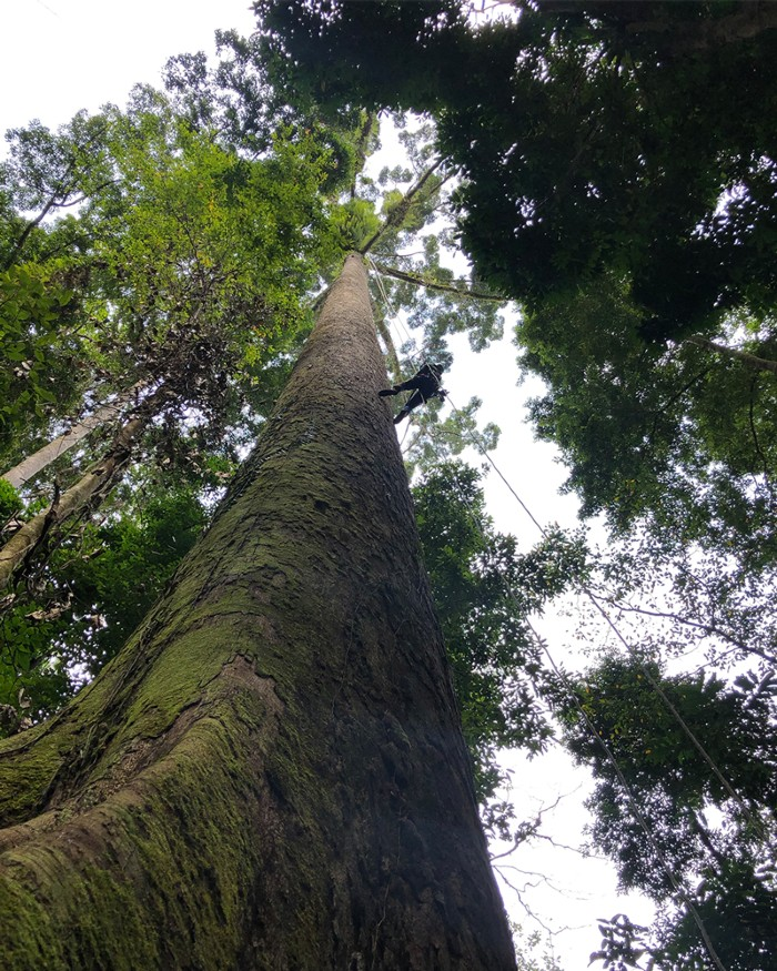 A tall tree seen from the bottom of its trunk, looking up into the canopy. A person climbs the tree on ropes.