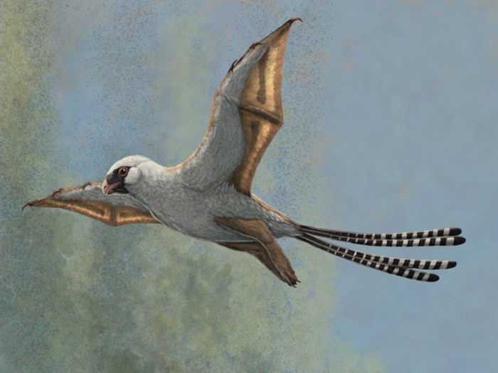 Illustration showing a reconstruction of Ambopteryx in a glide.