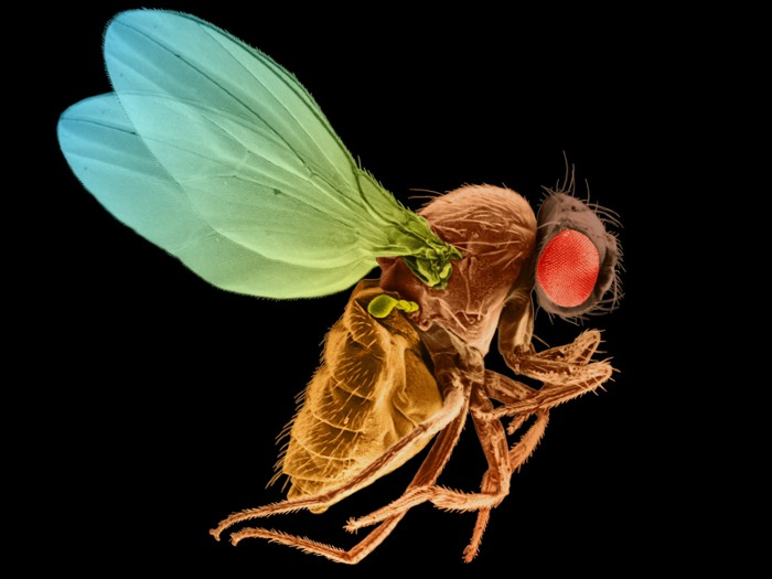 Coloured scanning electron micrograph of a fruit fly against a black background.