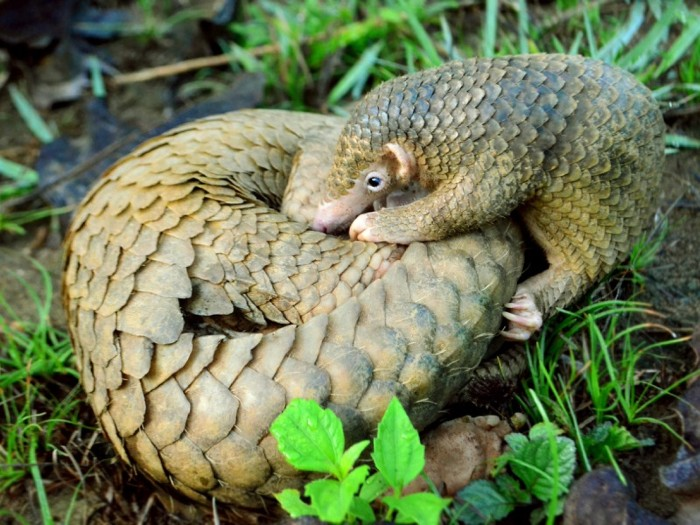 A Philippine Pangolin pup nudges its mother, rolled up in a protective ball, Palawan.