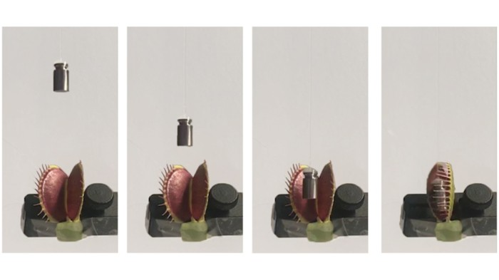 Four photographs showing a Venus flytrap closing on a weight falling past it.
