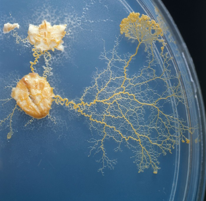 Physarum polycephalum, a slime mold