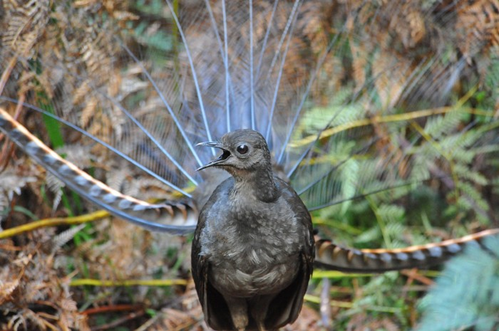 A male lyrebird