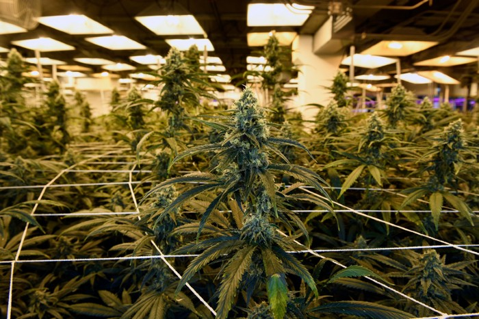 Flowering marijuana plants grow at the LivWell Enlightened Health cultivation facility