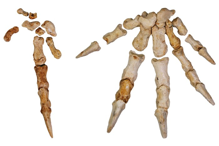 Bones from the hands of Congruus kitcheneri.