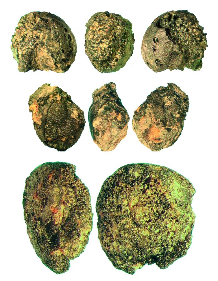Charred finds of the most important cultivated crops from the Late Bronze Age