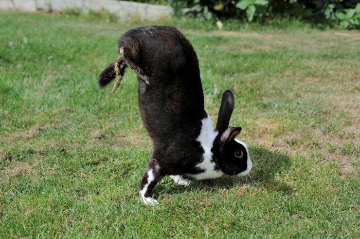 A black and white rabbit with its hind legs lifted from the ground and its body held vertically.
