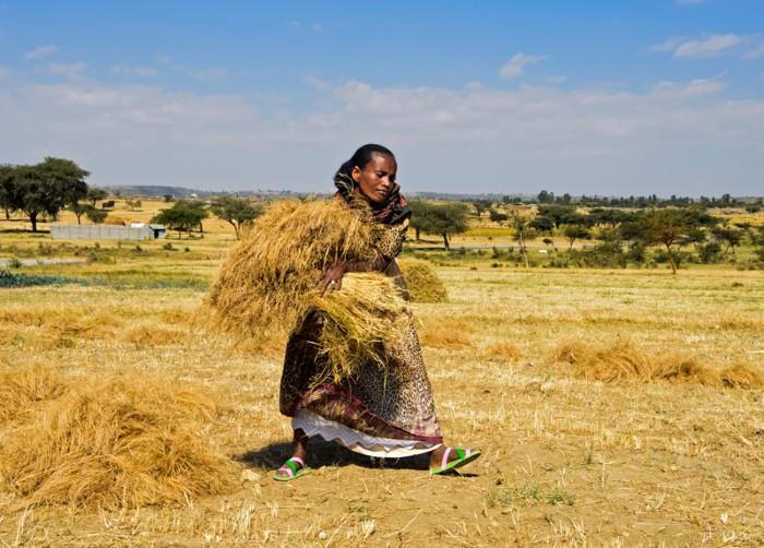 Woman harvesting teff, Ethiopia