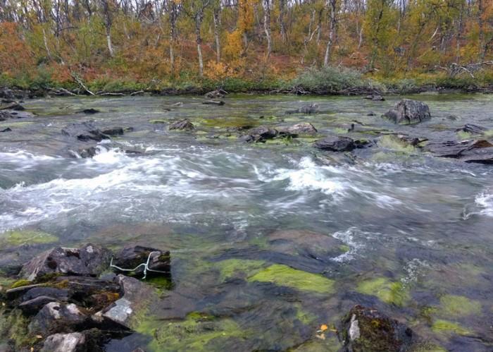 The river Paktajokka in Northern Sweden filled with filamentous algae