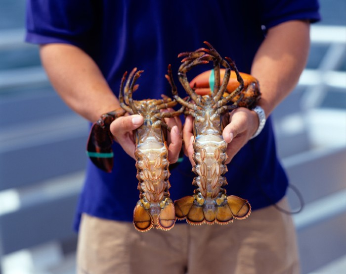Person holding two lobsters with their underbellies facing up.