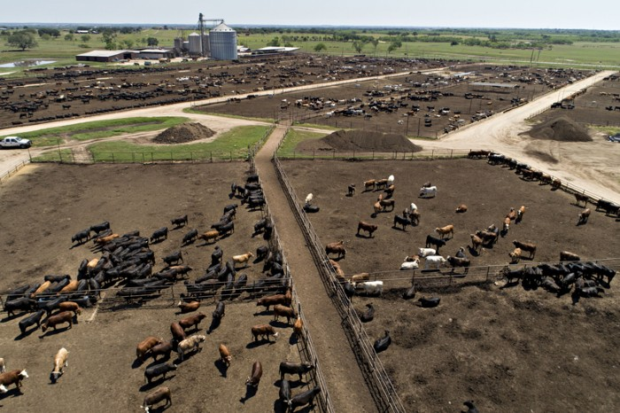 Aerial photograph of beef cattle standing at the Texana Feeders feedlot in Floresville, Texas