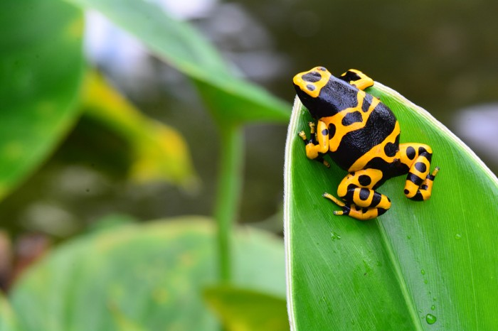 A black and yellow poison dart frog sitting on a leaf