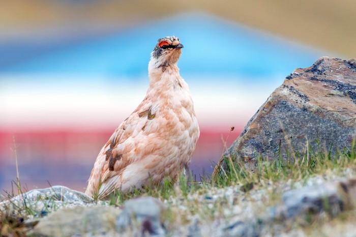 Male Rock Ptarmigan, Svalbard