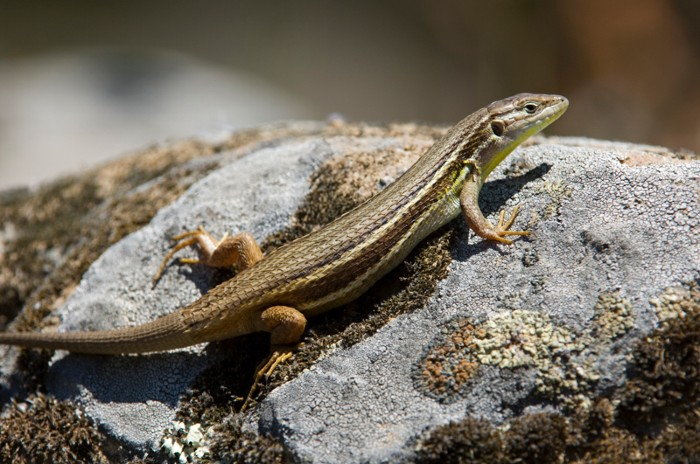 Lizard, Psammodromus algirus, resting on a rock