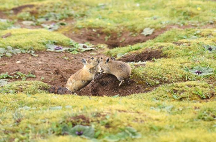Two plateau pikas 'kissing' on grass