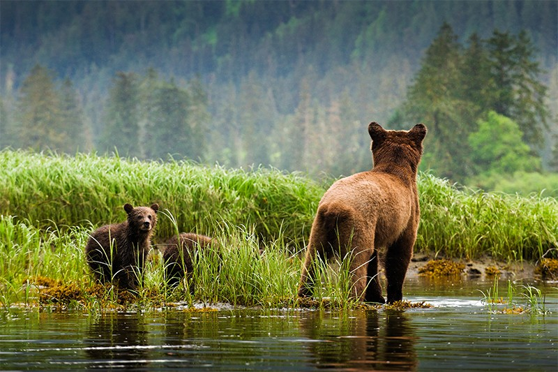 Two grizzly bears look at each other across a lake