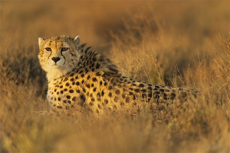An Asiatic cheetah lies in the grass at the Miandasht Wildlife Reserve in Iran.