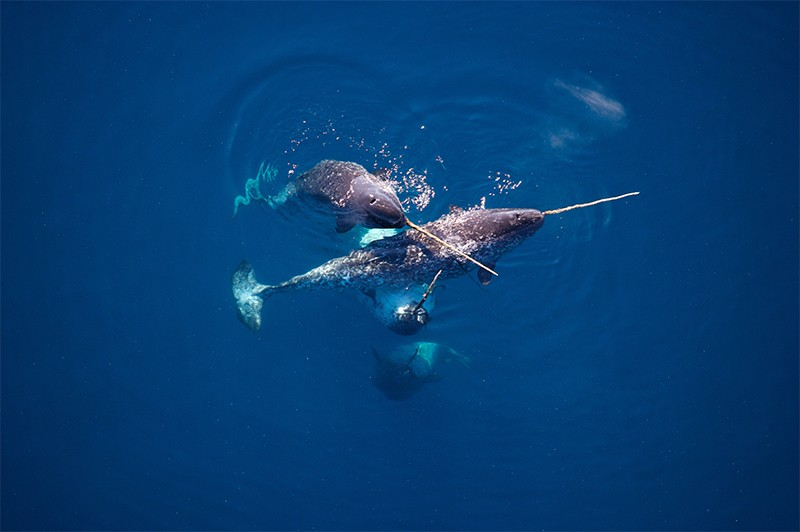 Narwhals hunting for codfish