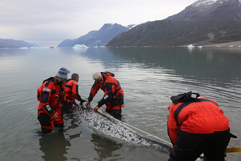 Researchers measuring the body length of an adult narwhal.
