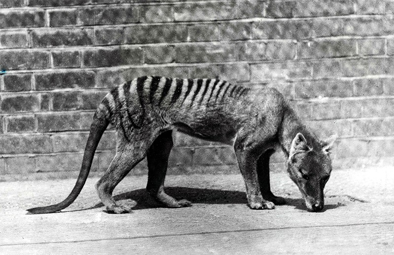 Thylacine in captivity
