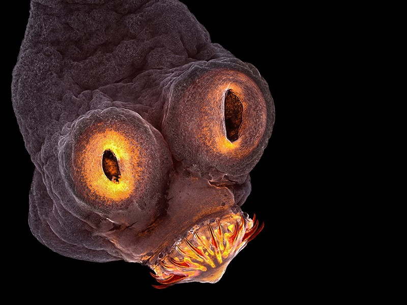 A Taenia solium (tapeworm) everted scolex seen at magnification 200x.
