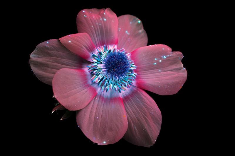 An anemone flower
