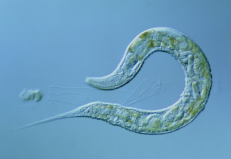 Closeup of C. elegans worm