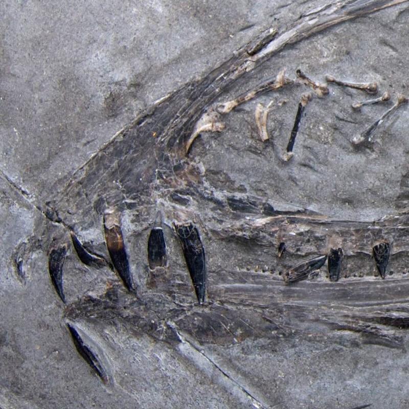 Riscos em dentes de pterossauro
