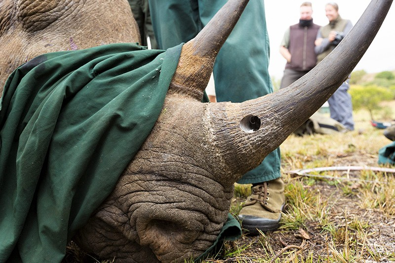 Rhino with horn drilled for tracking in South Africa