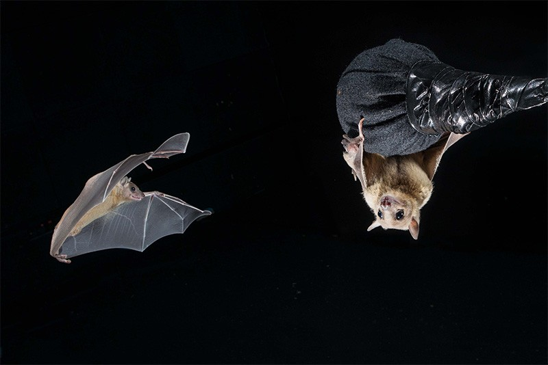 Bats fly in a neurobiology lab.