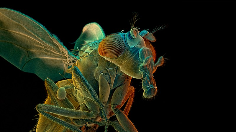SEM of a fruit fly (drosophila sp.)